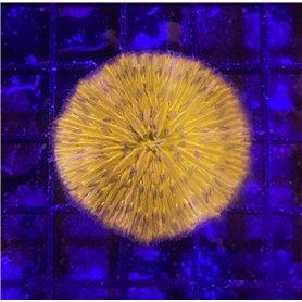 Fungia - Aust