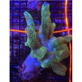Leather Green Polyp - Aust